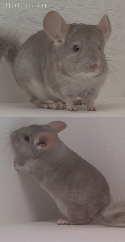 1592 Beige ( Violet Carrier ) Female Chinchilla