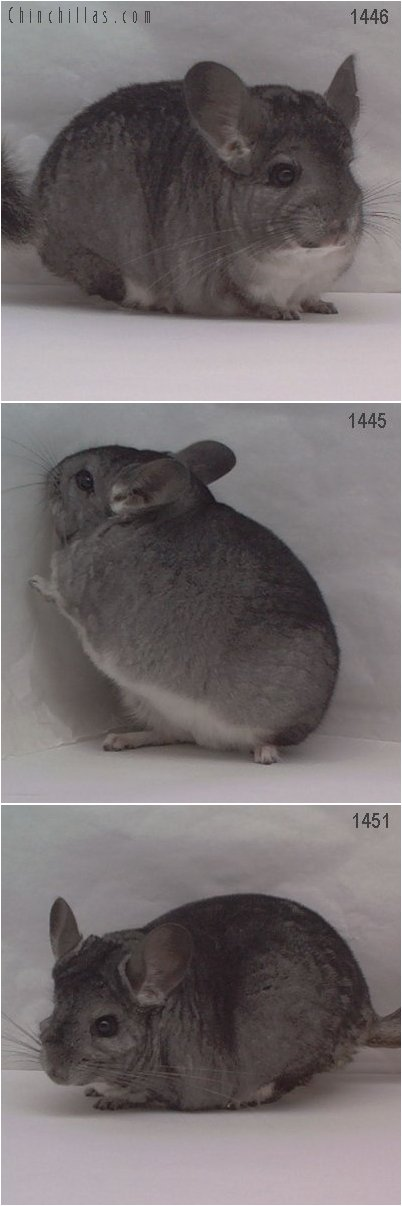 Lot 9 Three Showable Standard Females Chinchilla