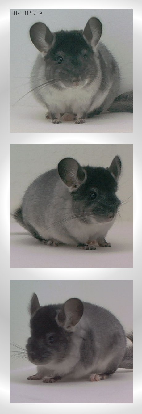 1568 TOV Silver ( with spotting factor ) Male Chinchilla