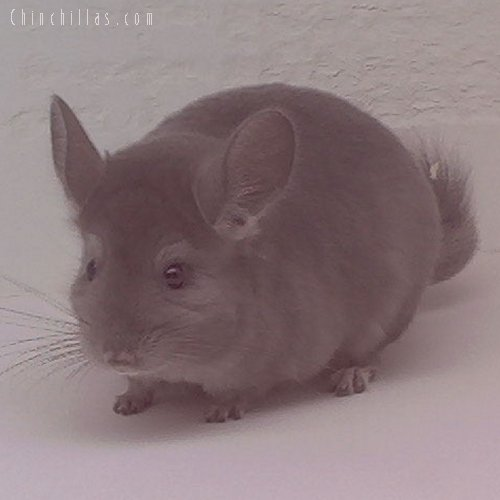 1601 Wrap-around Violet Female Chinchilla