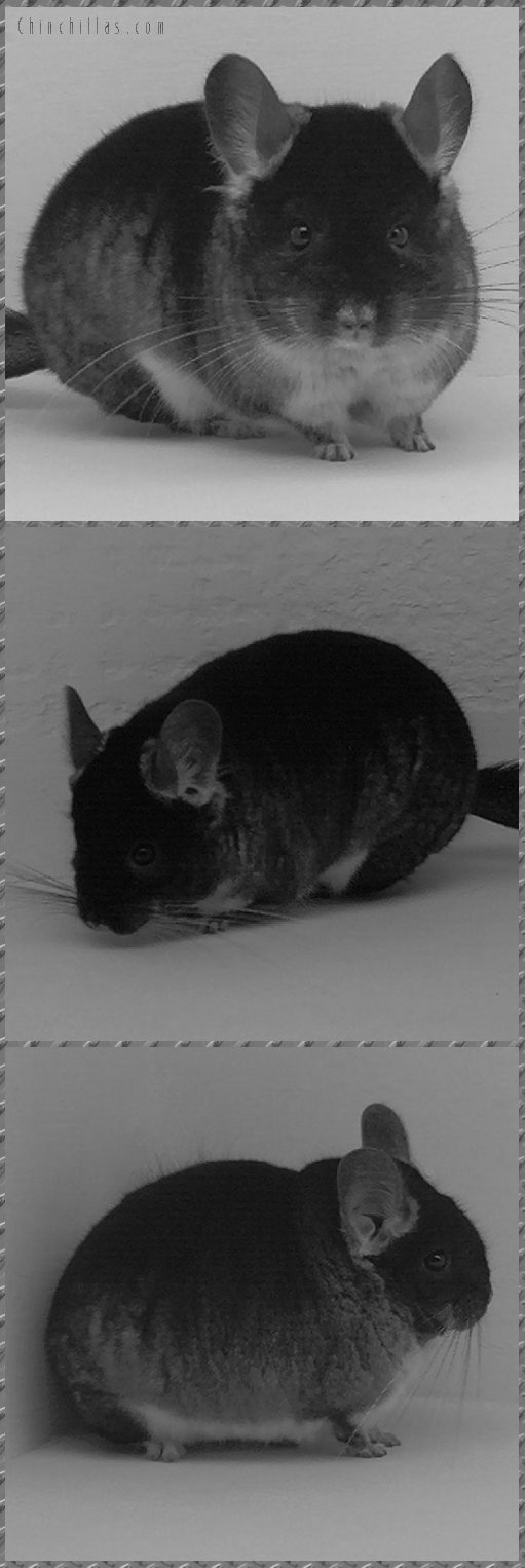 1609 Showable Black Velvet Male Chinchilla