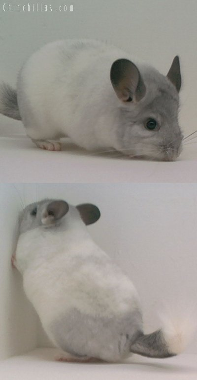1587 TOP Show White Mosaic Female Chinchilla