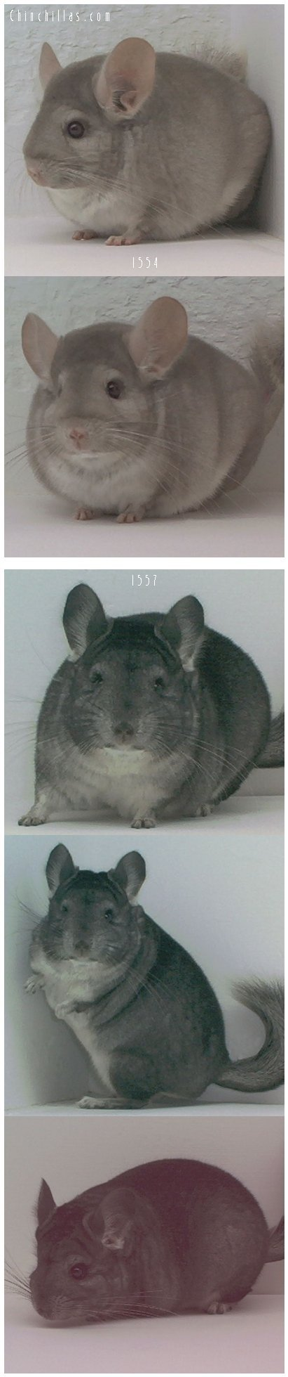 Lot 10 Show Quality Standard & Beige Females Chinchilla