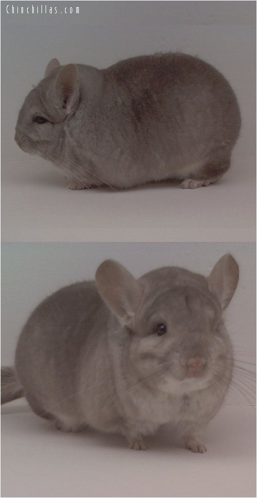 1618 Top Show Quality Heterozygous Beige Male Chinchilla