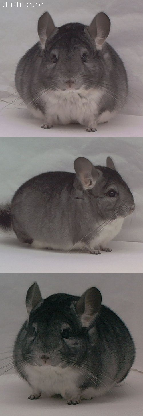 1458 Show Quality Standard Male Chinchilla