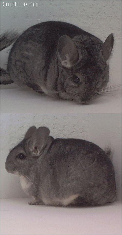 1622 Show Quality Standard Female Chinchilla