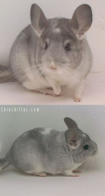 1604 Unusual Silver Mosaic Female Chinchilla