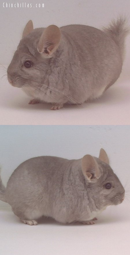 1610 Showable Heterozygous Beige Male Chinchilla