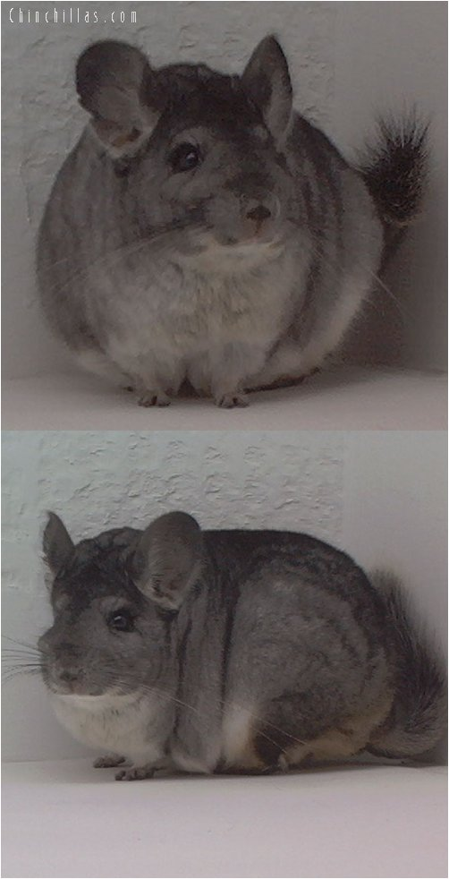 1537 Top Show Quality Pure Standard Female Chinchilla