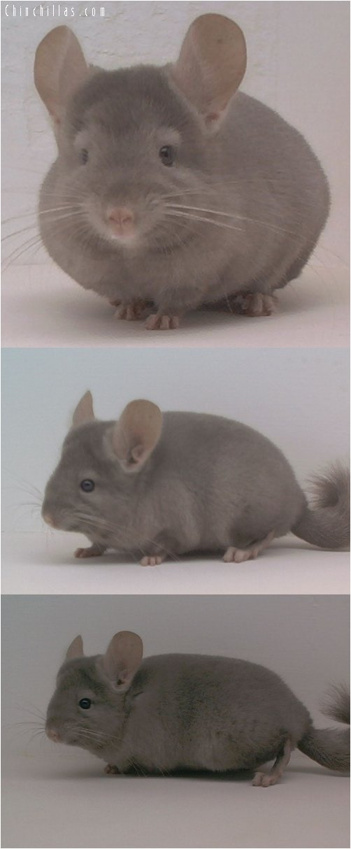 1626 Tan Female Chinchilla