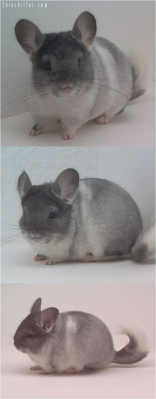 1636 TOV White Male Chinchilla