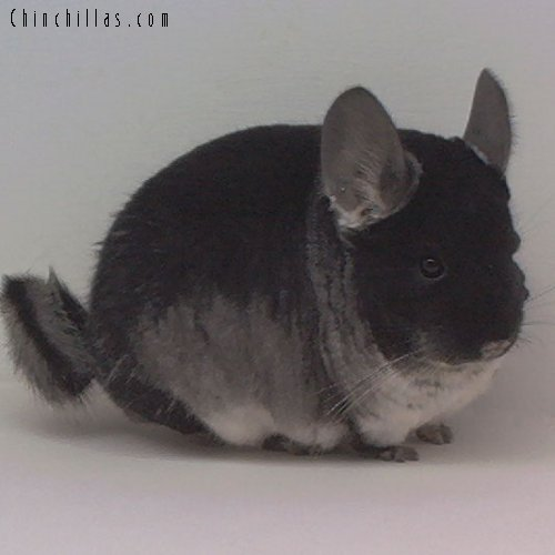 1631 Top Show Quality Black Velvet Female Chinchilla