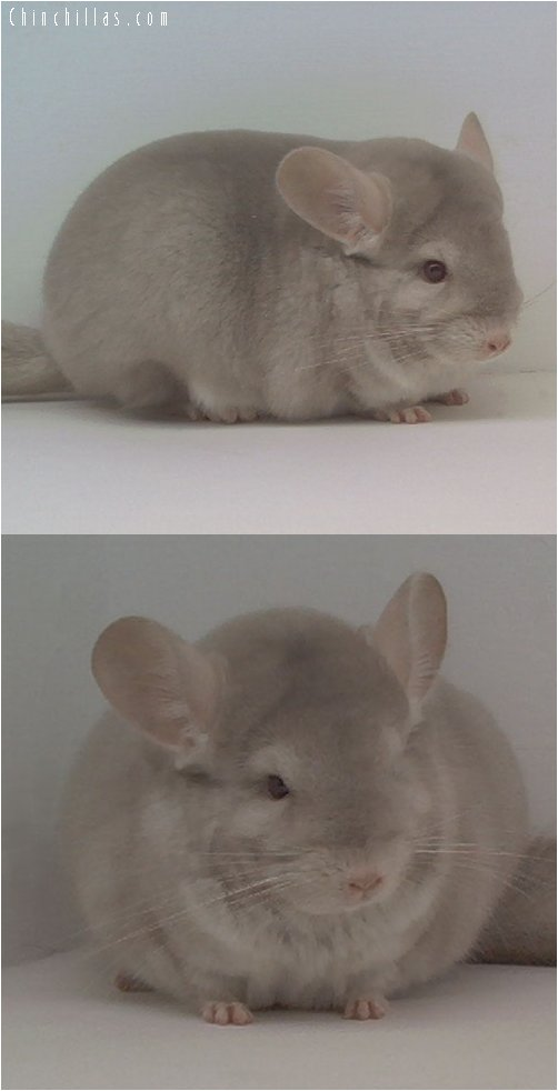 1634 TOP Show Quality Homo-Beige Female Chinchilla