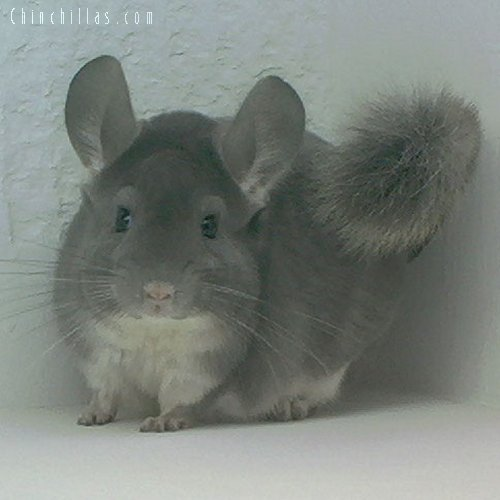 1628 Champion Violet Male Chinchilla