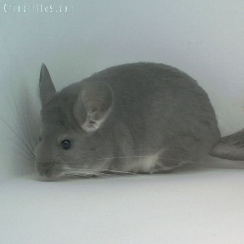 1635 Show Quality Violet Female Chinchilla