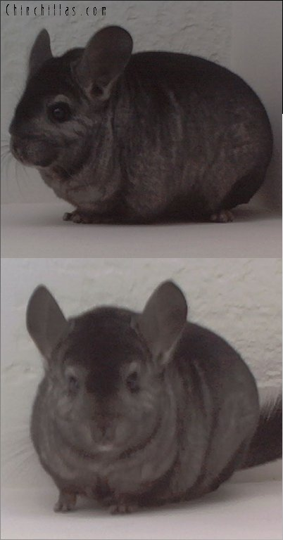 1588 Show Quality Hetero Ebony Male Chinchilla
