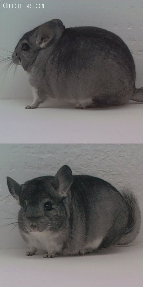 1540 Show Quality Standard Female Chinchilla