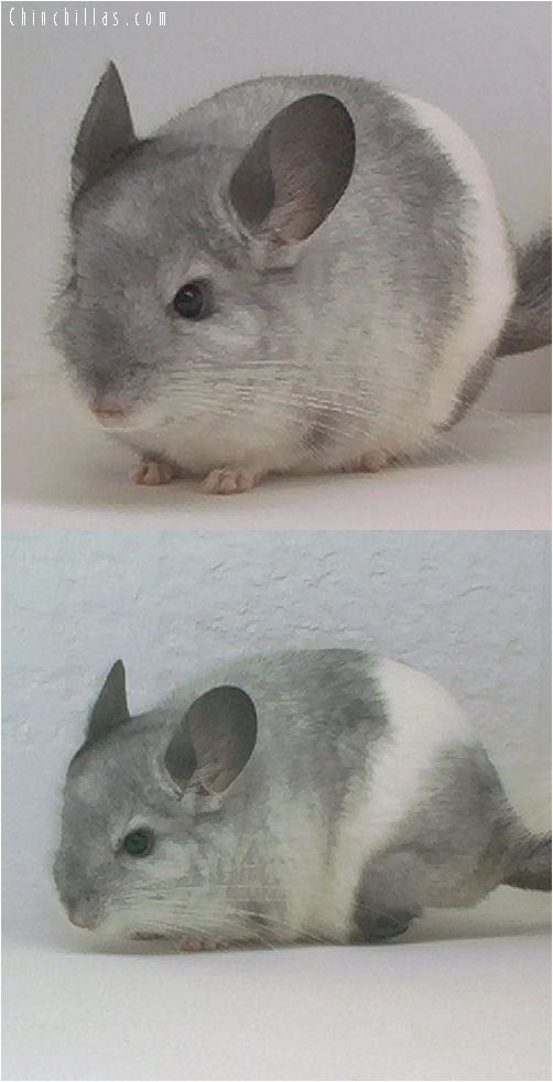 1633 Interesting Mosaic Male Chinchilla