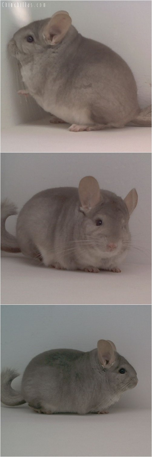 1640 Top Show Quality Beige Male Chinchilla