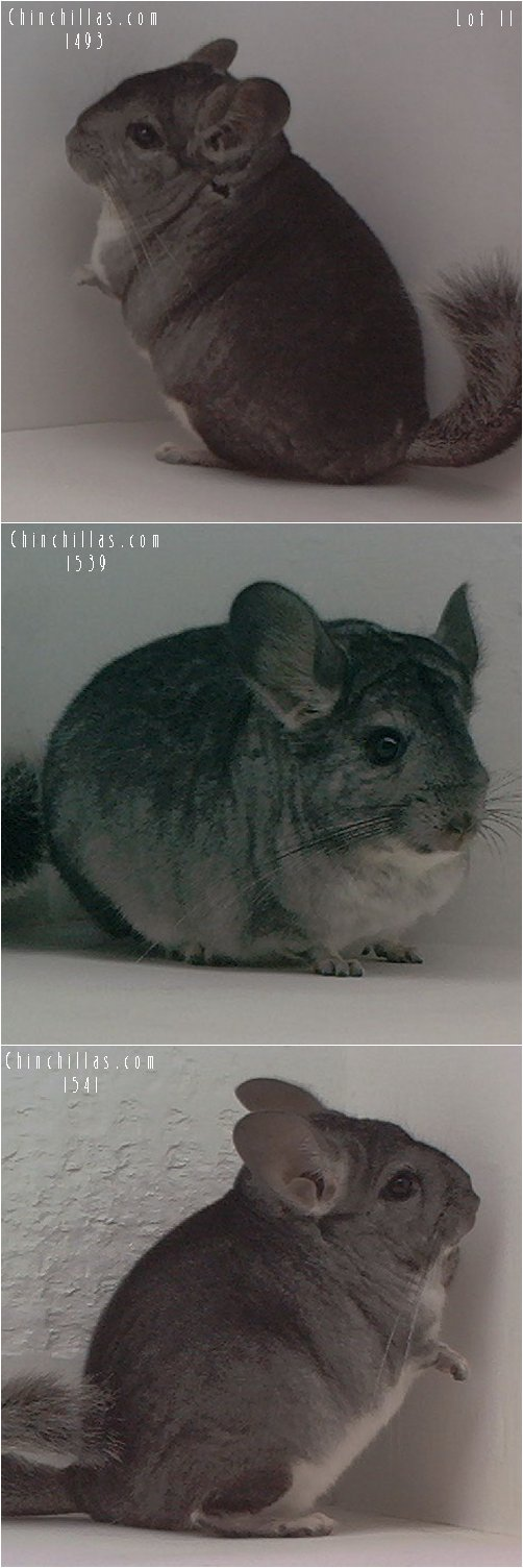 Lot 11 Three Showable Standard Females Chinchilla
