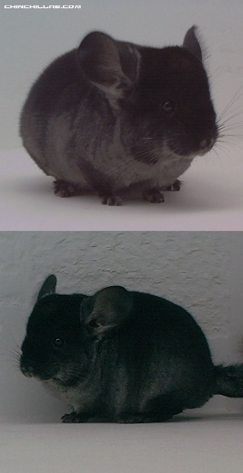 1531 TOV Heterozygous Ebony Male Chinchilla