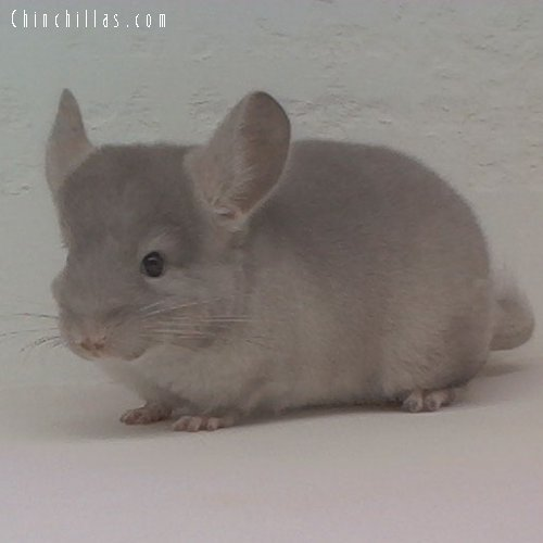 1630 TOV Beige ( Brown Velvet ) Female Chinchilla