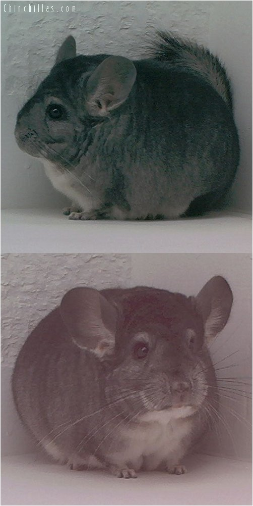 1543 Top Show Quality Standard Female Chinchilla