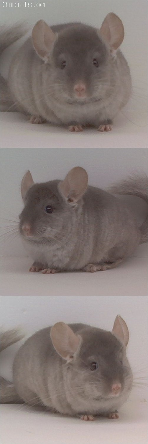 1648 TOV Beige ( Violet Carrier ) Female Chinchilla