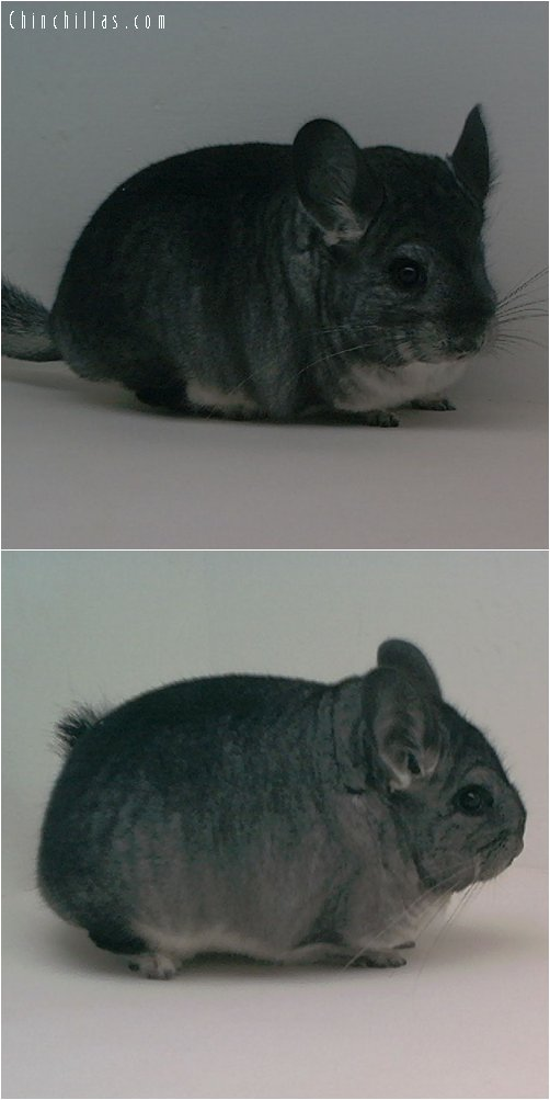 1643 Blocky / Brevi Show Quality Standard Female Chinchilla