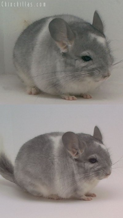 1606 Showable Unusually Marked Mosaic Male Chinchilla