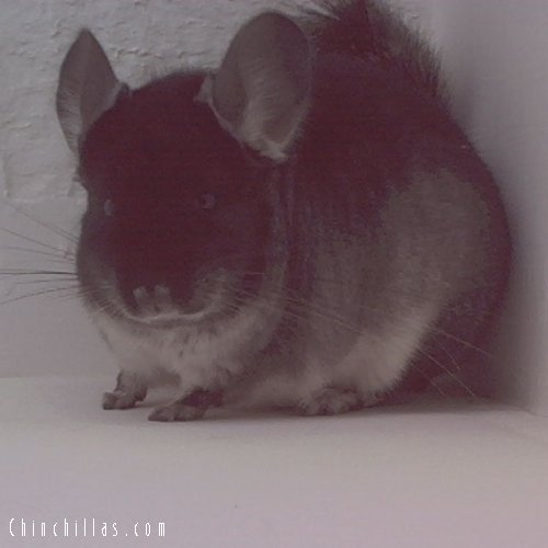 1536 Showable Black Velvet female Chinchilla