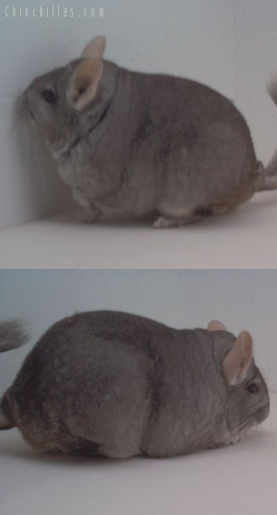 1649 Extra Large Top Show Quality Beige Female Chinchilla
