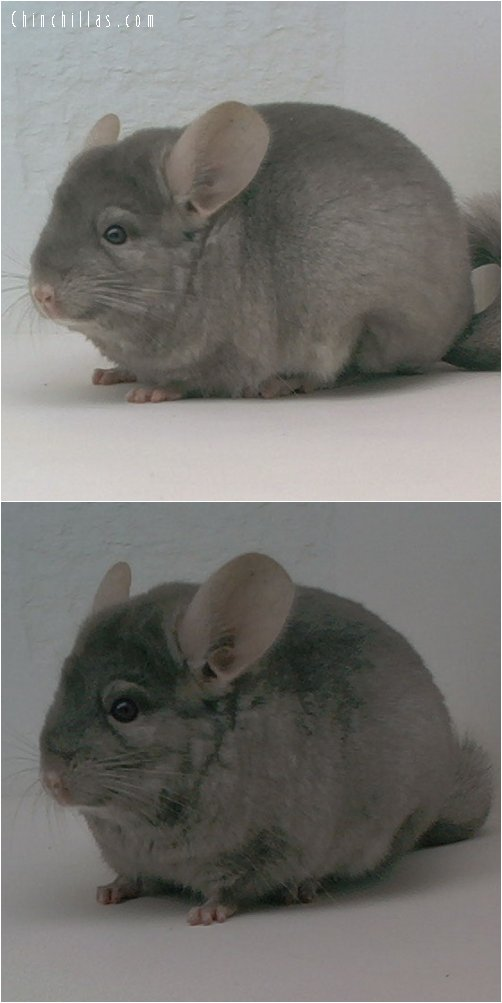 1655 Show Quality Ritterspach-bred TOV Tan Female Chinchilla