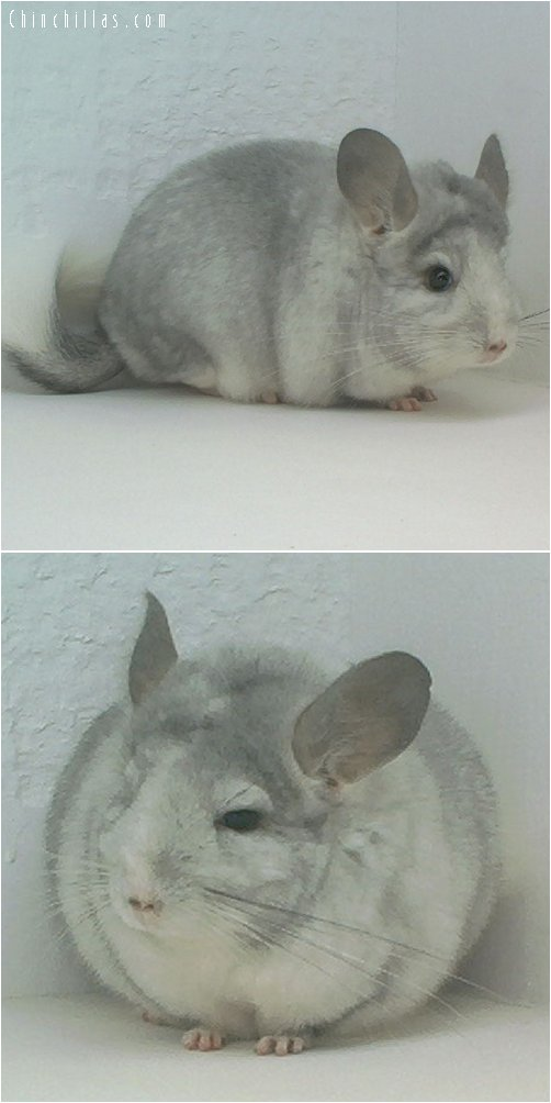 1660 Showable Silver Mosaic Female Chinchilla