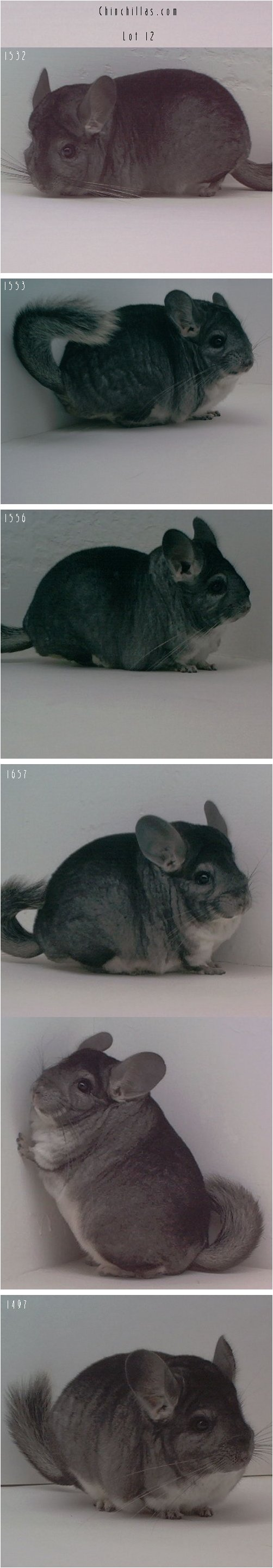 Lot 12 - Five Show Quality Pure Standards Chinchilla