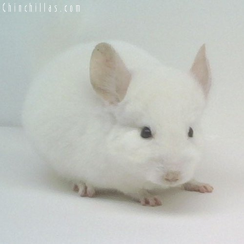 1602 Showable Pink White Male Chinchilla