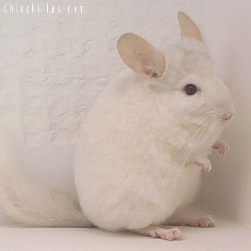 1608 Pink White Female Chinchilla