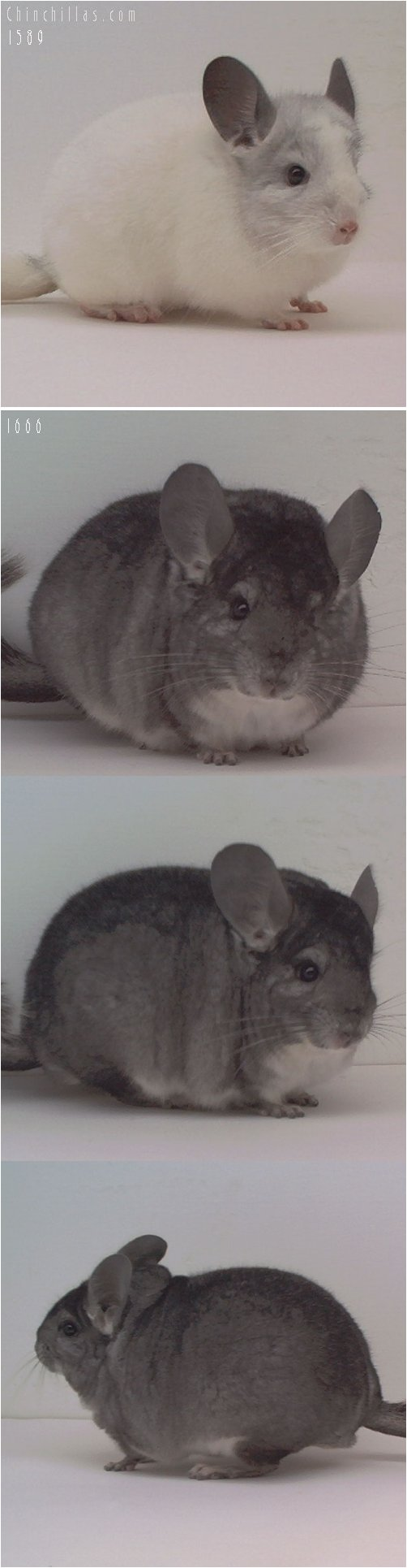 Lot 13 Show Quality White and Standard Pair Chinchilla