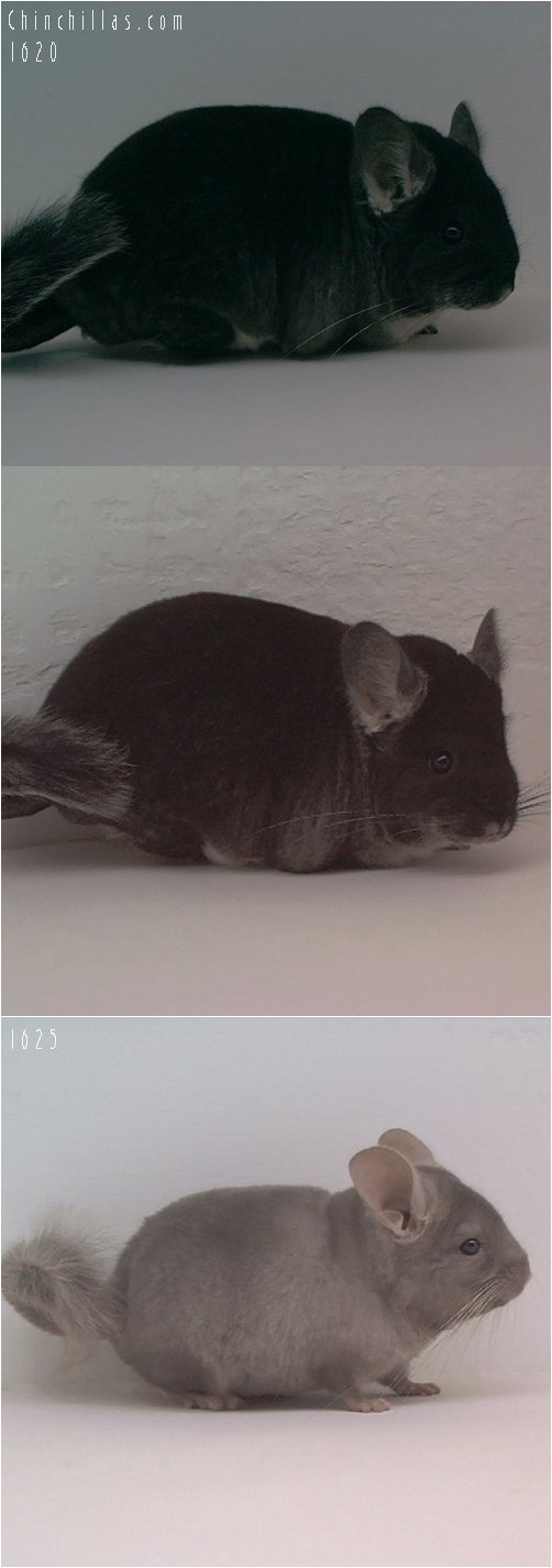 Lot 14 Show Quality Black Velvet & Tan Pair Chinchilla