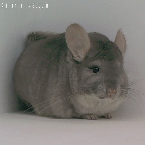 1658 1st Place Beige Female Chinchilla