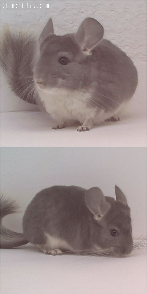 1663 Violet Female Chinchilla
