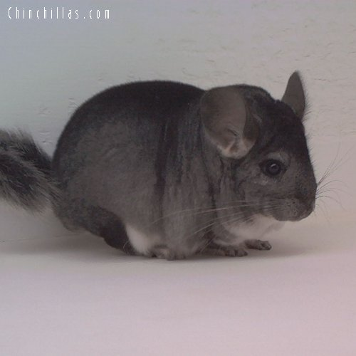 1629 Top Show Quality Standard Female Chinchilla