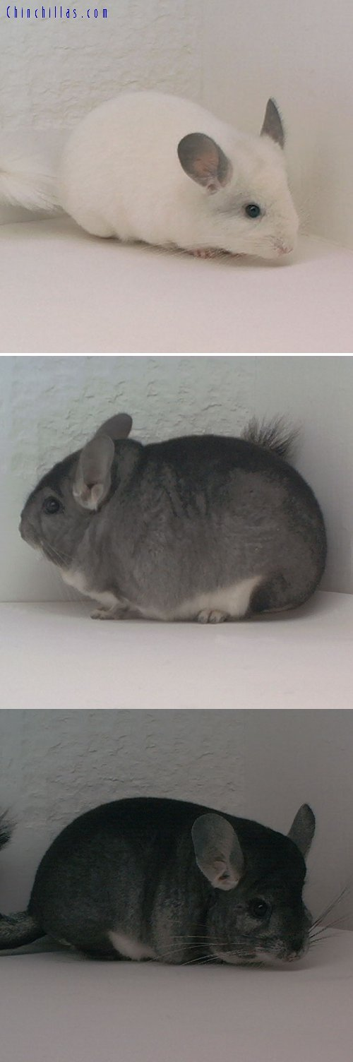 Lot 16 Predominantly White & Standard Pair Chinchilla