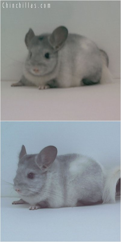 1668 Ebony and White Hybrid Female!!! Chinchilla