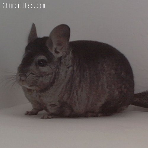 1651 Showable Heterozygous Ebony Male Chinchilla