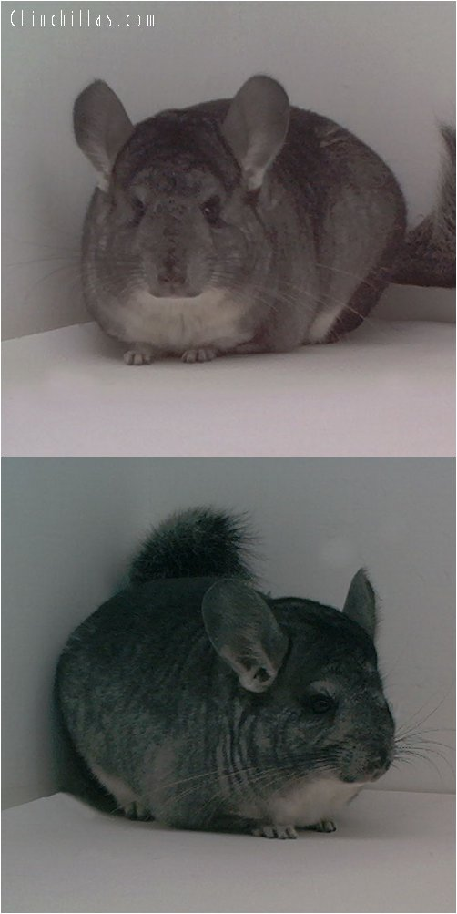1681 Standard Female Chinchilla