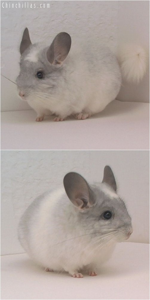 1682 White Mosaic Female Chinchilla