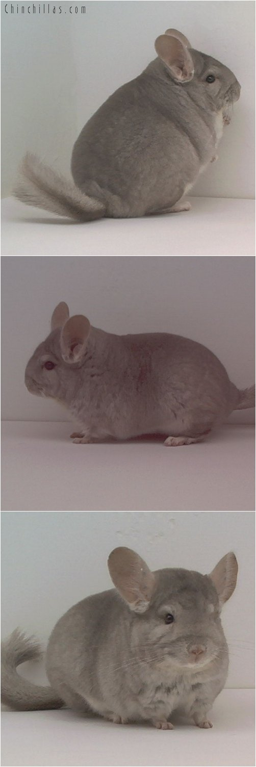 1664 Reserve Class Champion Beige Female Chinchilla