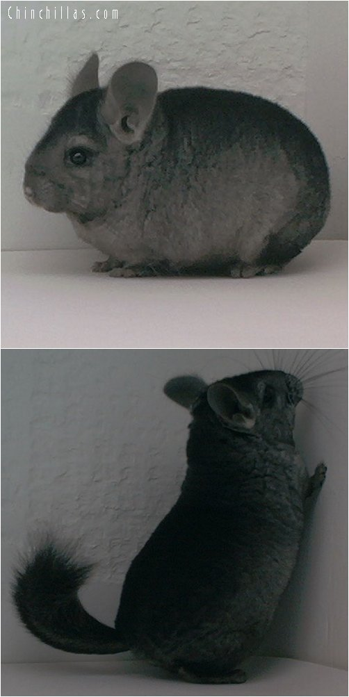 1662 Heterozygous Ebony Male Chinchilla