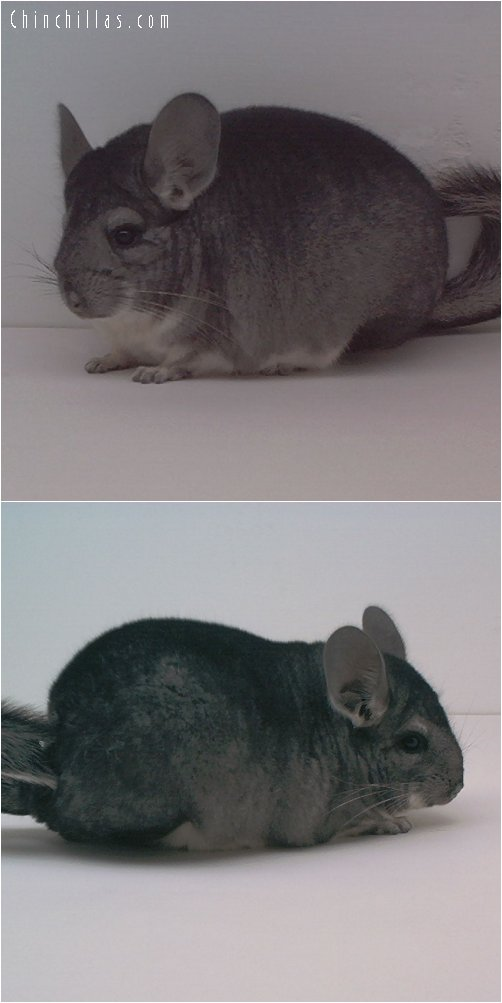 1674 Show Quality Standard Male Chinchilla